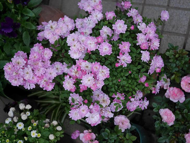 咲耶姫(ミニバラ)の花が更に咲いた。2020年-001.jpg