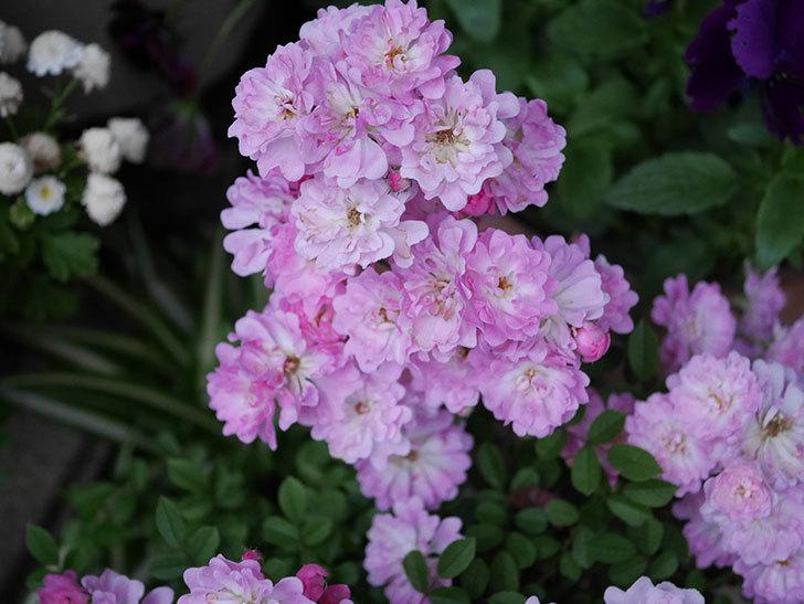 咲耶姫(ミニバラ)の花が更に咲いた。2020年-003.jpg