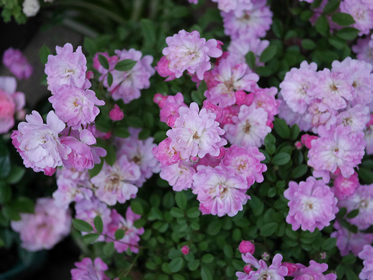 咲耶姫(ミニバラ)の花が更に咲いた。2020年-004.jpg