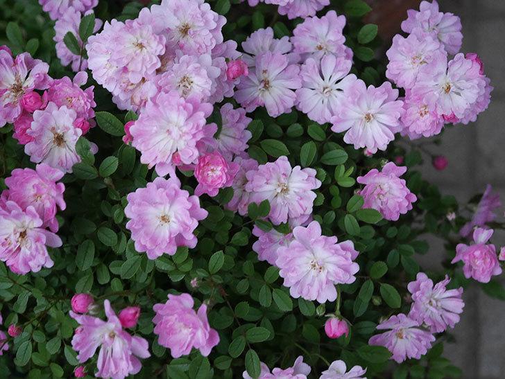 咲耶姫(ミニバラ)の花が更に咲いた。2020年-005.jpg