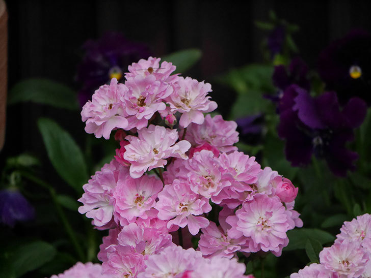 咲耶姫(ミニバラ)の花が更に咲いた。2020年-009.jpg