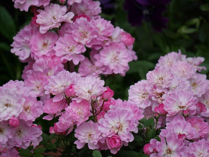 咲耶姫(ミニバラ)の花が更に咲いた。2020年-010.jpg