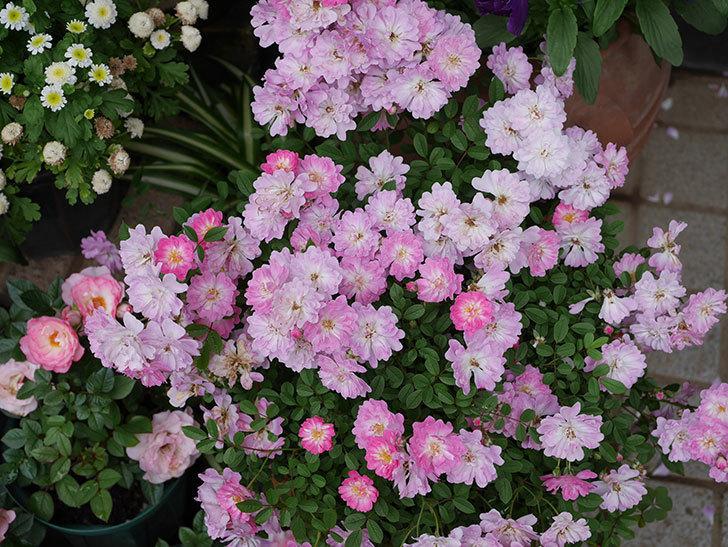 咲耶姫(ミニバラ)の花が更に咲いた。2020年-012.jpg