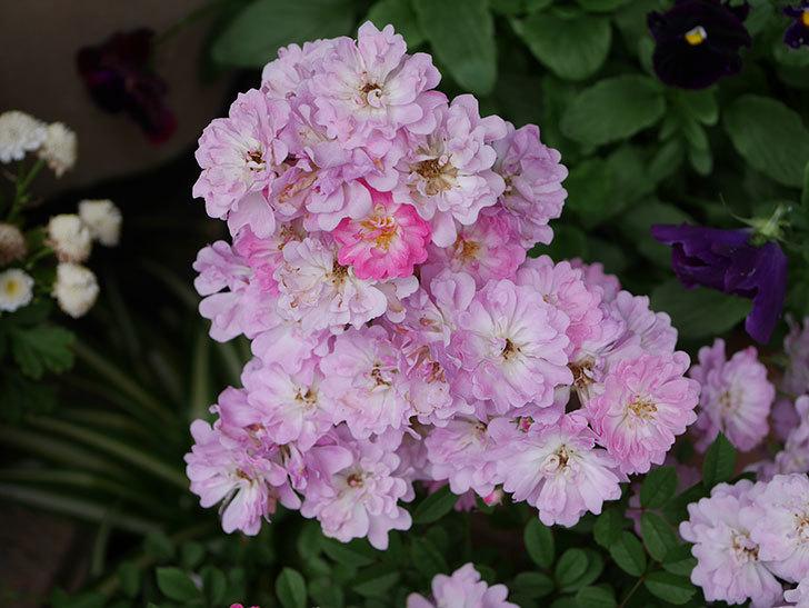 咲耶姫(ミニバラ)の花が更に咲いた。2020年-013.jpg