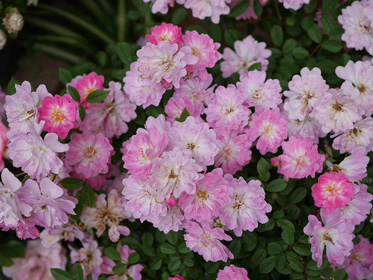 咲耶姫(ミニバラ)の花が更に咲いた。2020年-014.jpg