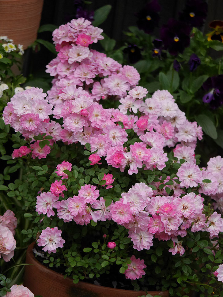 咲耶姫(ミニバラ)の花が更に咲いた。2020年-017.jpg