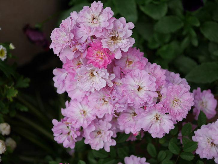 咲耶姫(ミニバラ)の花が更に咲いた。2020年-021.jpg