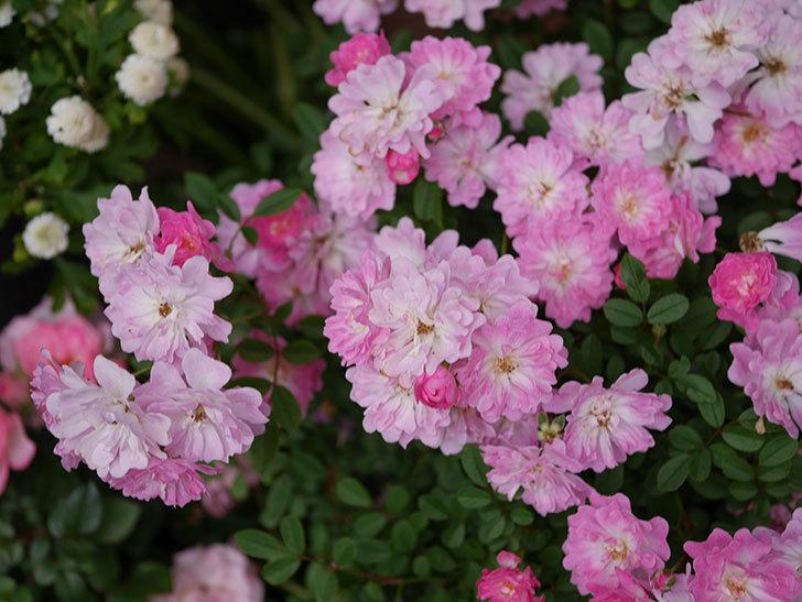 咲耶姫(ミニバラ)の花が更に咲いた。2020年-022.jpg