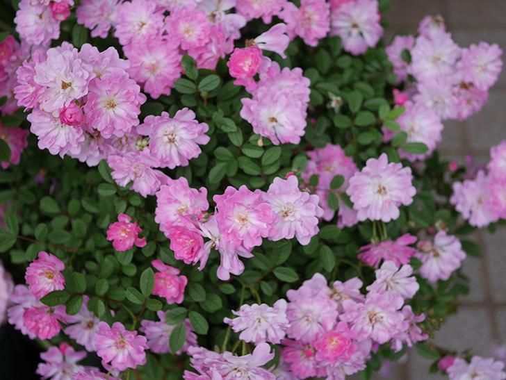咲耶姫(ミニバラ)の花が更に咲いた。2020年-023.jpg