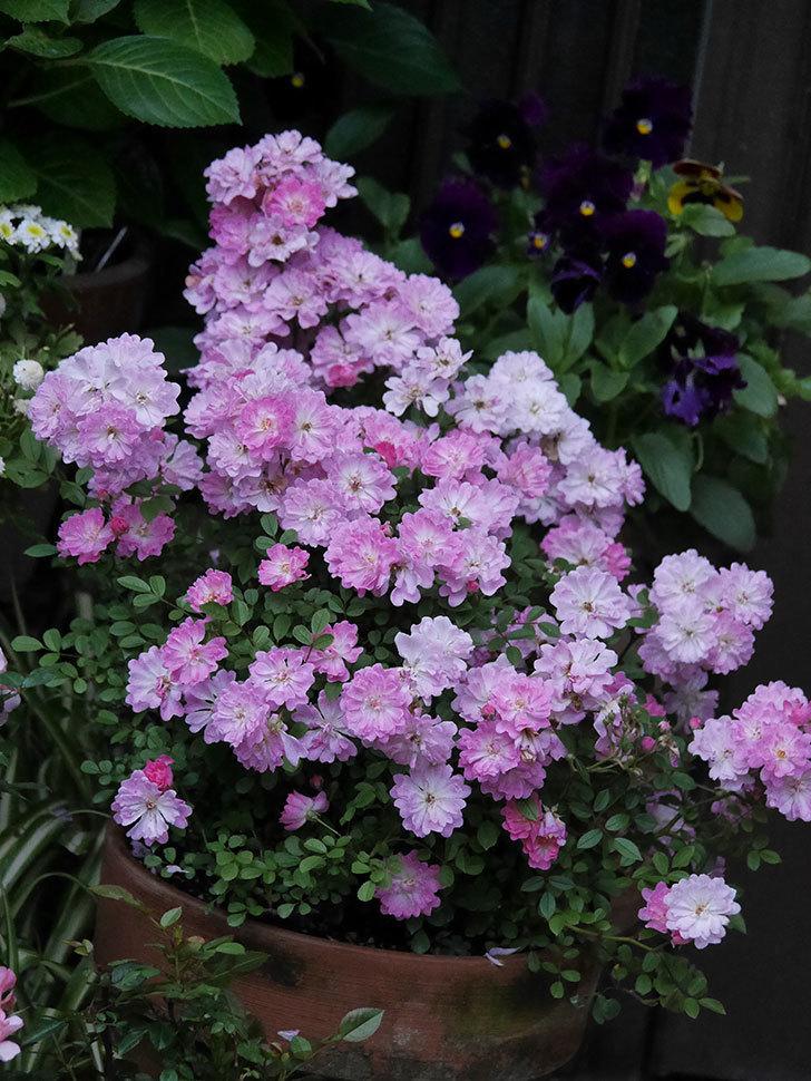 咲耶姫(ミニバラ)の花が更に咲いた。2020年-025.jpg
