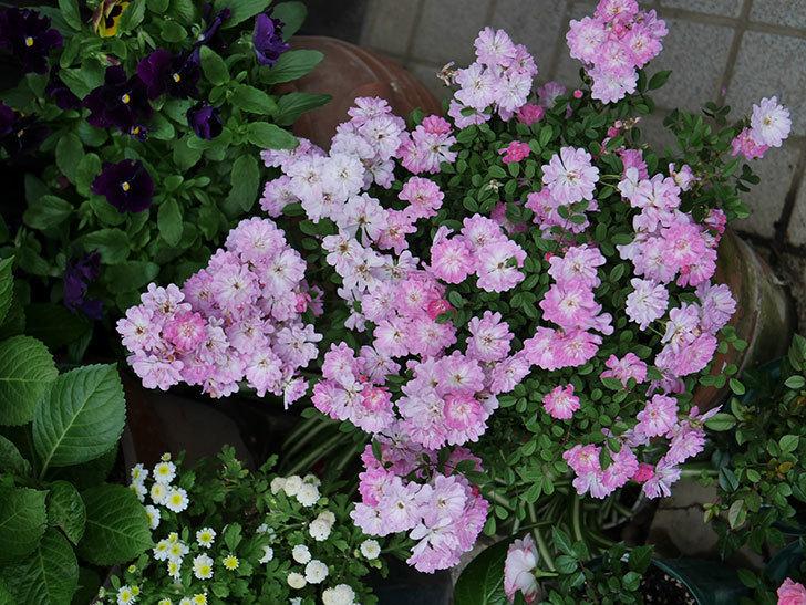 咲耶姫(ミニバラ)の花が更に咲いた。2020年-026.jpg