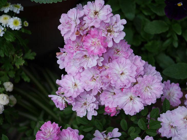 咲耶姫(ミニバラ)の花が更に咲いた。2020年-027.jpg