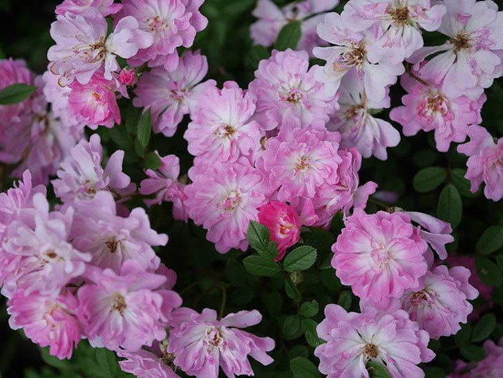 咲耶姫(ミニバラ)の花が更に咲いた。2020年-028.jpg