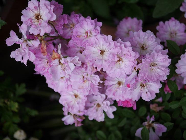 咲耶姫(ミニバラ)の花が更に咲いた。2020年-030.jpg
