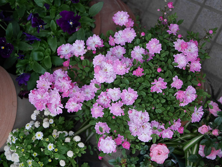 咲耶姫(ミニバラ)の花が満開になった。2020年-001.jpg