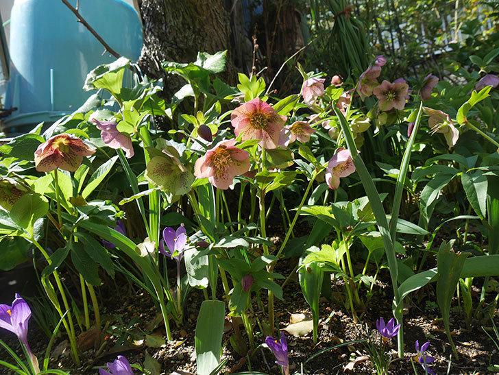 地植えしたオリエンタリス-紫のシングルの花がたくさん咲いた。2019年-1.jpg