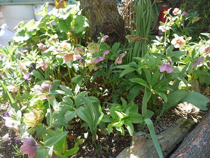 地植えしたオリエンタリス-紫のシングルの花がたくさん咲いた。2019年-11.jpg