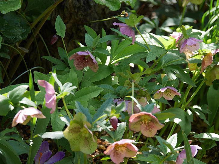 地植えしたオリエンタリス-紫のシングルの花がたくさん咲いた。2019年-12.jpg