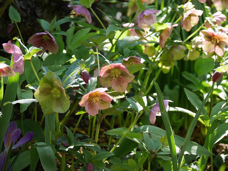 地植えしたオリエンタリス-紫のシングルの花がたくさん咲いた。2019年-14.jpg