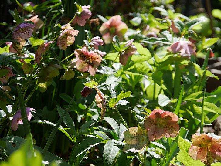 地植えしたオリエンタリス-紫のシングルの花がたくさん咲いた。2019年-17.jpg