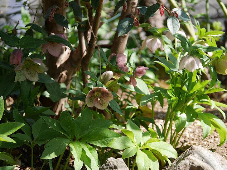地植えしたオリエンタリス-紫のシングルの花がたくさん咲いた。2019年-22.jpg