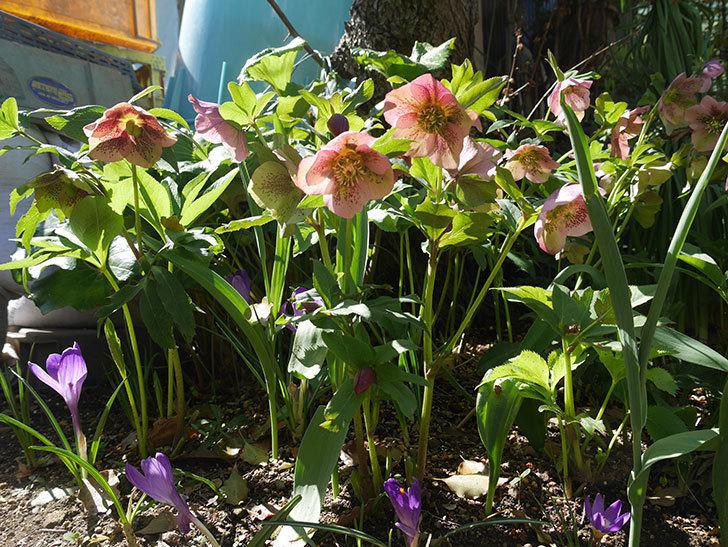 地植えしたオリエンタリス-紫のシングルの花がたくさん咲いた。2019年-4.jpg