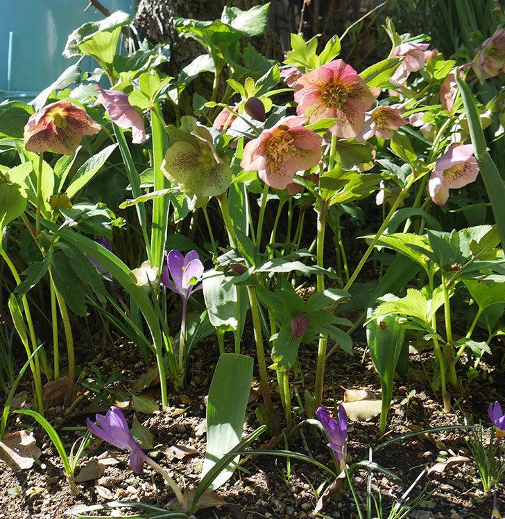 地植えしたオリエンタリス-紫のシングルの花がたくさん咲いた。2019年-5.jpg