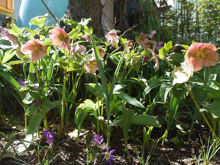 地植えしたオリエンタリス-紫のシングルの花がたくさん咲いた。2019年-7.jpg