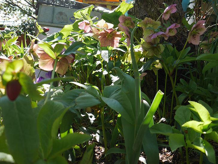 地植えしたオリエンタリス-紫のシングルの花がたくさん咲いた。2019年-8.jpg