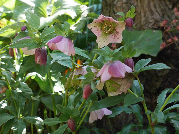 地植えしたオリエンタリス-紫のシングルの花が咲いた。2019年-1.jpg