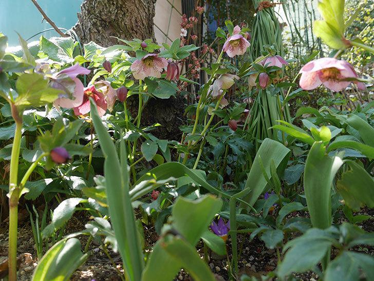 地植えしたオリエンタリス-紫のシングルの花が咲いた。2019年-10.jpg
