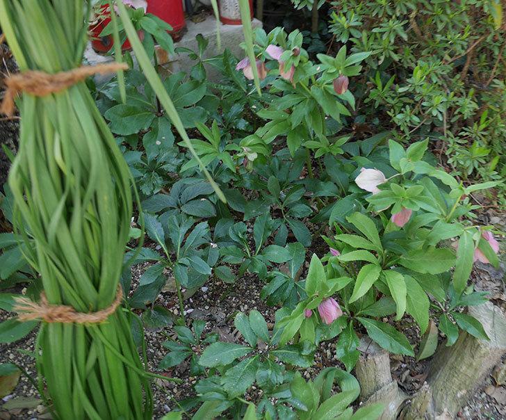 地植えしたオリエンタリス-紫のシングルの花が咲いた。2019年-13.jpg