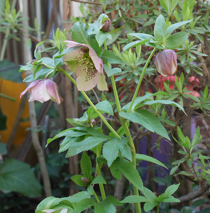地植えしたオリエンタリス-紫のシングルの花が咲いた。2019年-14.jpg