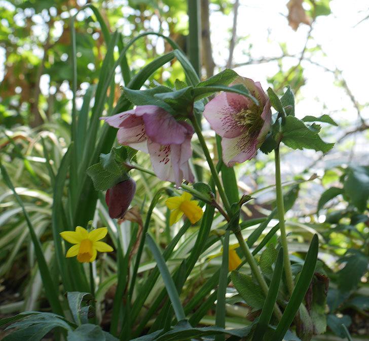 地植えしたオリエンタリス-紫のシングルの花が咲いた。2019年-15.jpg
