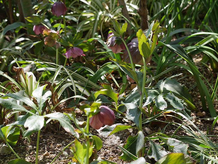 地植えしたオリエンタリス-紫のシングルの花が咲いた。2019年-17.jpg