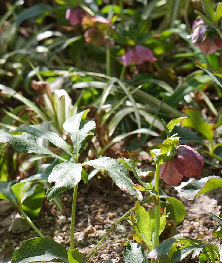 地植えしたオリエンタリス-紫のシングルの花が咲いた。2019年-18.jpg