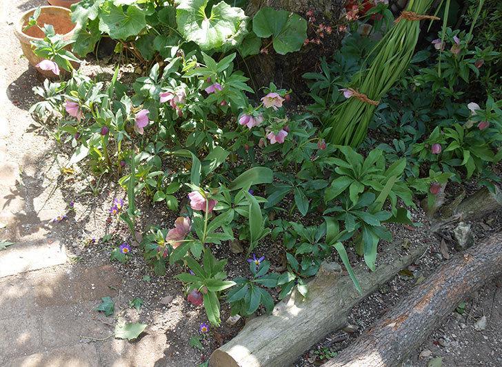 地植えしたオリエンタリス-紫のシングルの花が咲いた。2019年-2.jpg