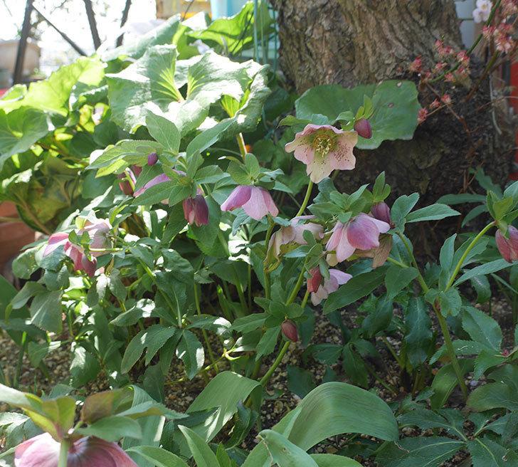 地植えしたオリエンタリス-紫のシングルの花が咲いた。2019年-3.jpg