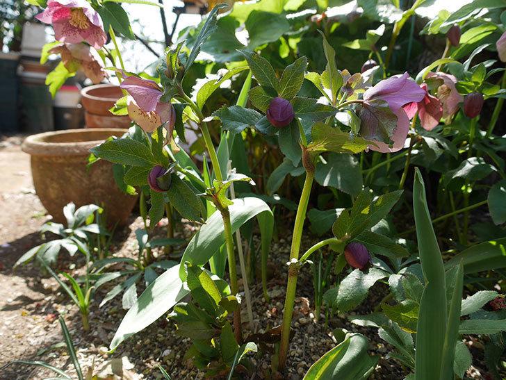 地植えしたオリエンタリス-紫のシングルの花が咲いた。2019年-6.jpg