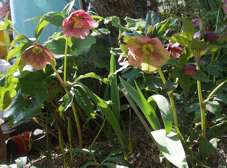 地植えしたオリエンタリス-紫のシングルの花が咲いた。2019年-7.jpg