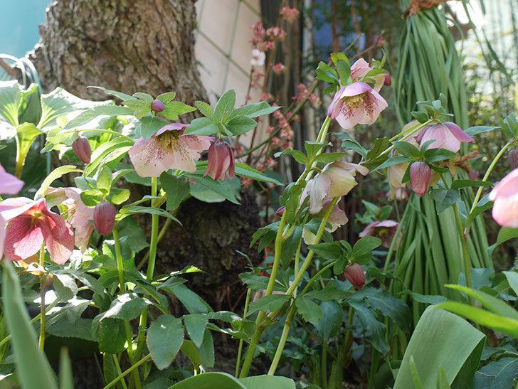 地植えしたオリエンタリス-紫のシングルの花が咲いた。2019年-9.jpg