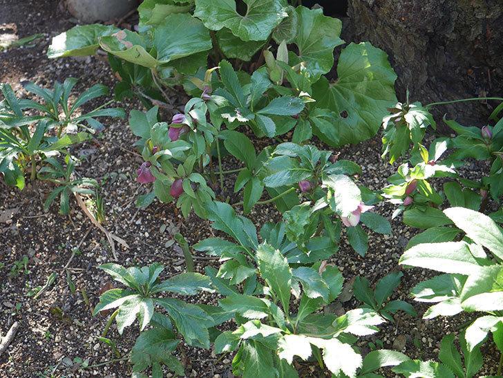 地植えしたオリエンタリス-紫のシングルの花が咲きだした。2020年-2.jpg