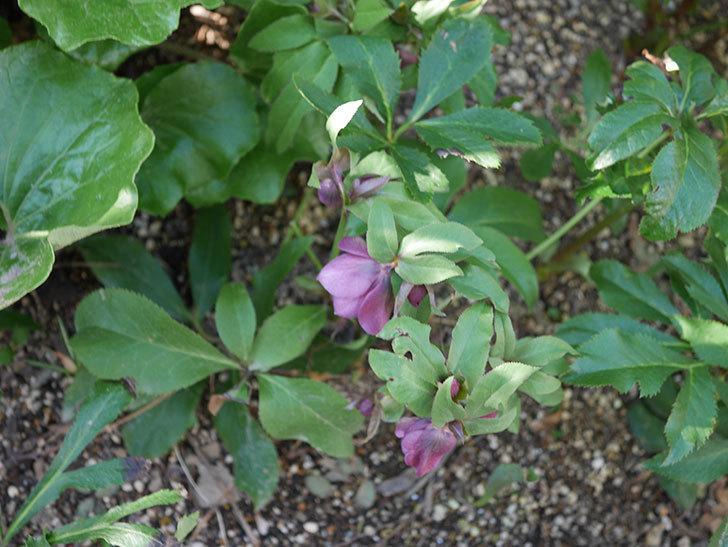 地植えしたオリエンタリス-紫のシングルの花が咲きだした。2020年-3.jpg