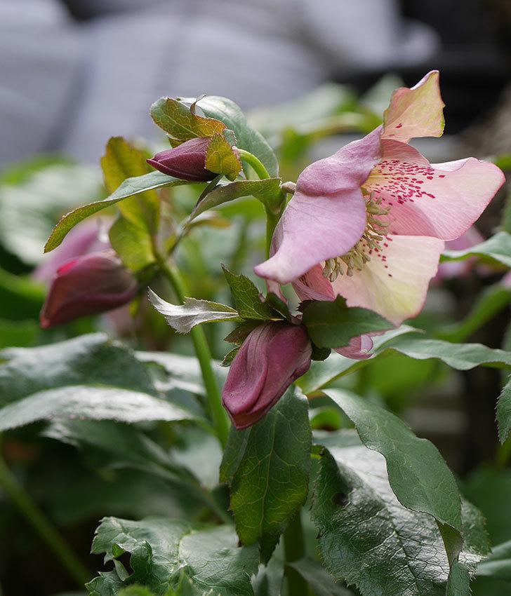 地植えしたオリエンタリスにバイカラーの花が咲いた。2020年-12.jpg