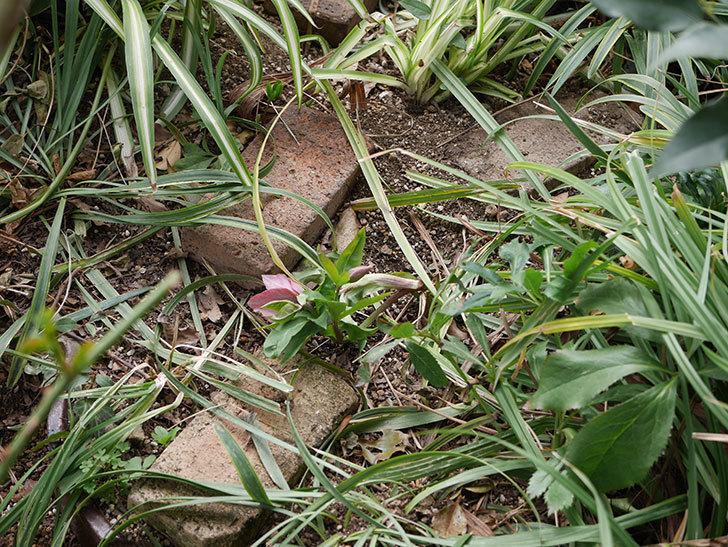 地植えしたオリエンタリスにバイカラーの花が咲いた。2020年-17.jpg