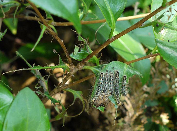 地植えしているツバキにチャドクガが発生した。2016年-1.jpg