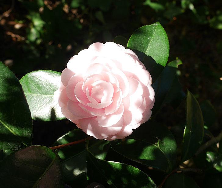 地植えしているピンクのツバキの花が1個だけ咲いた。2017年-1.jpg