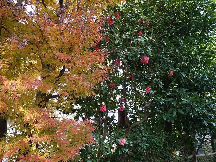 地植えしている赤いツバキが咲いた。2015年-5.jpg