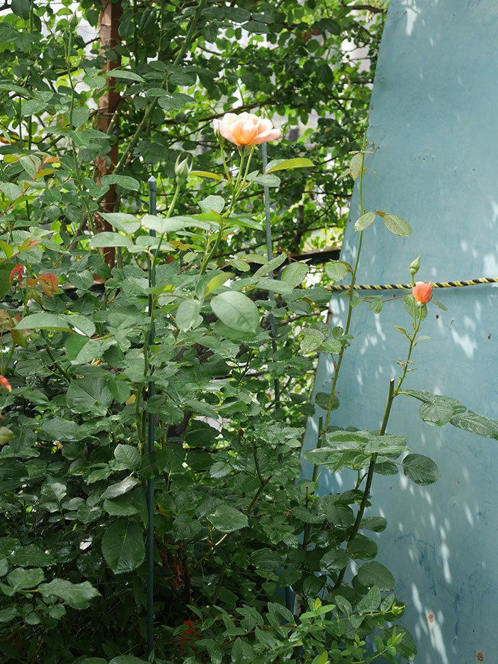 地植えのアプリコットキャンディ(Apricot Candy)の2番花が咲いた。木立バラ。2020年-001.jpg