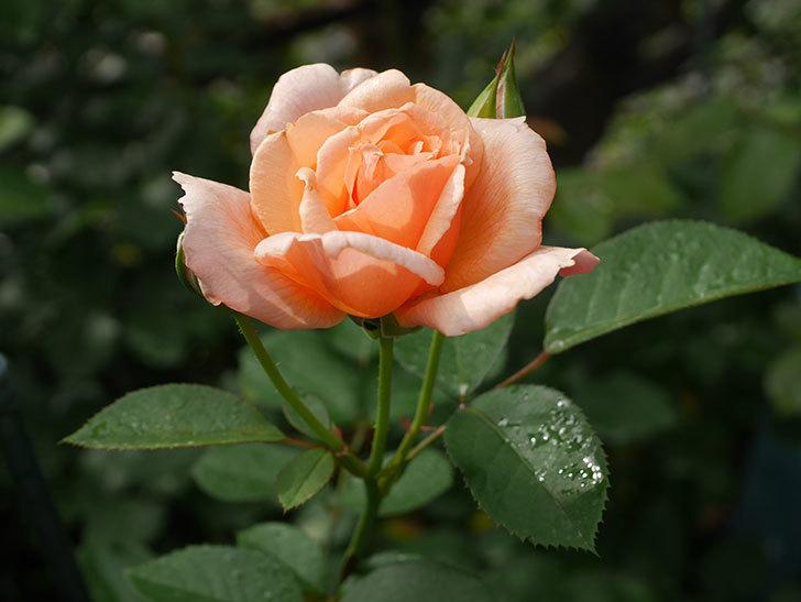 地植えのアプリコットキャンディ(Apricot Candy)の2番花が咲いた。木立バラ。2020年-002.jpg
